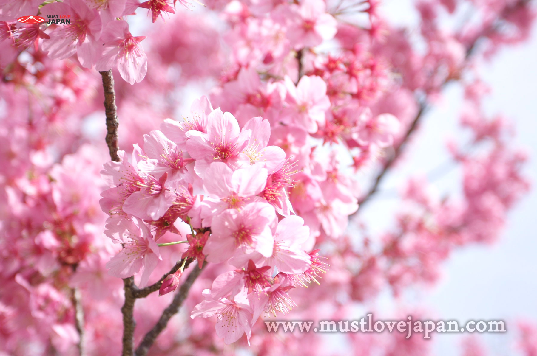 Flowers of japan inspiration interior designs flowers in japan mightylinksfo